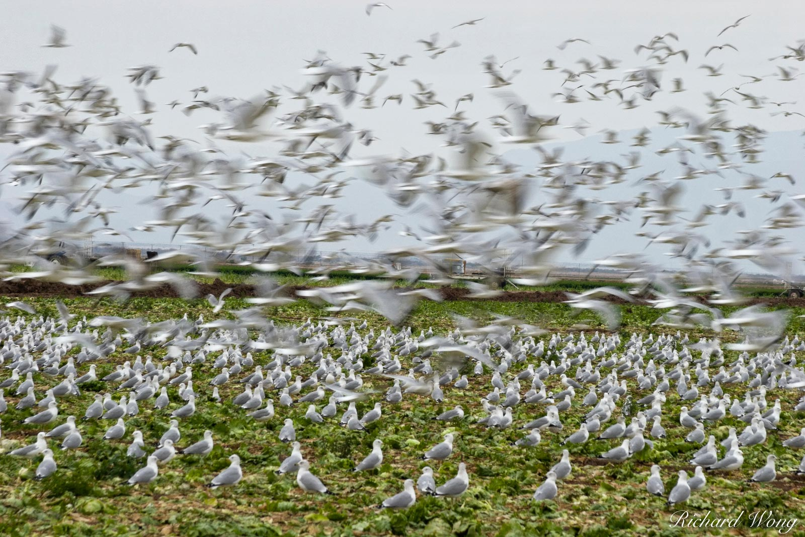 Western Gulls in Agricultural Field, Imperial Valley, California Winter has always been my favorite time of year to photograph...