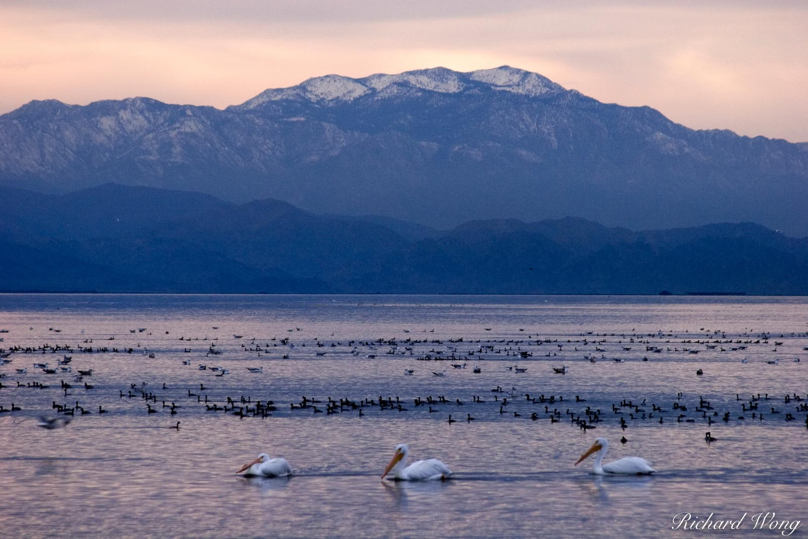 American White Pelicans and Other Migratory Birds in Salton Sea with Mount San Jacinto in the Background, Riverside County, California, photo, photo