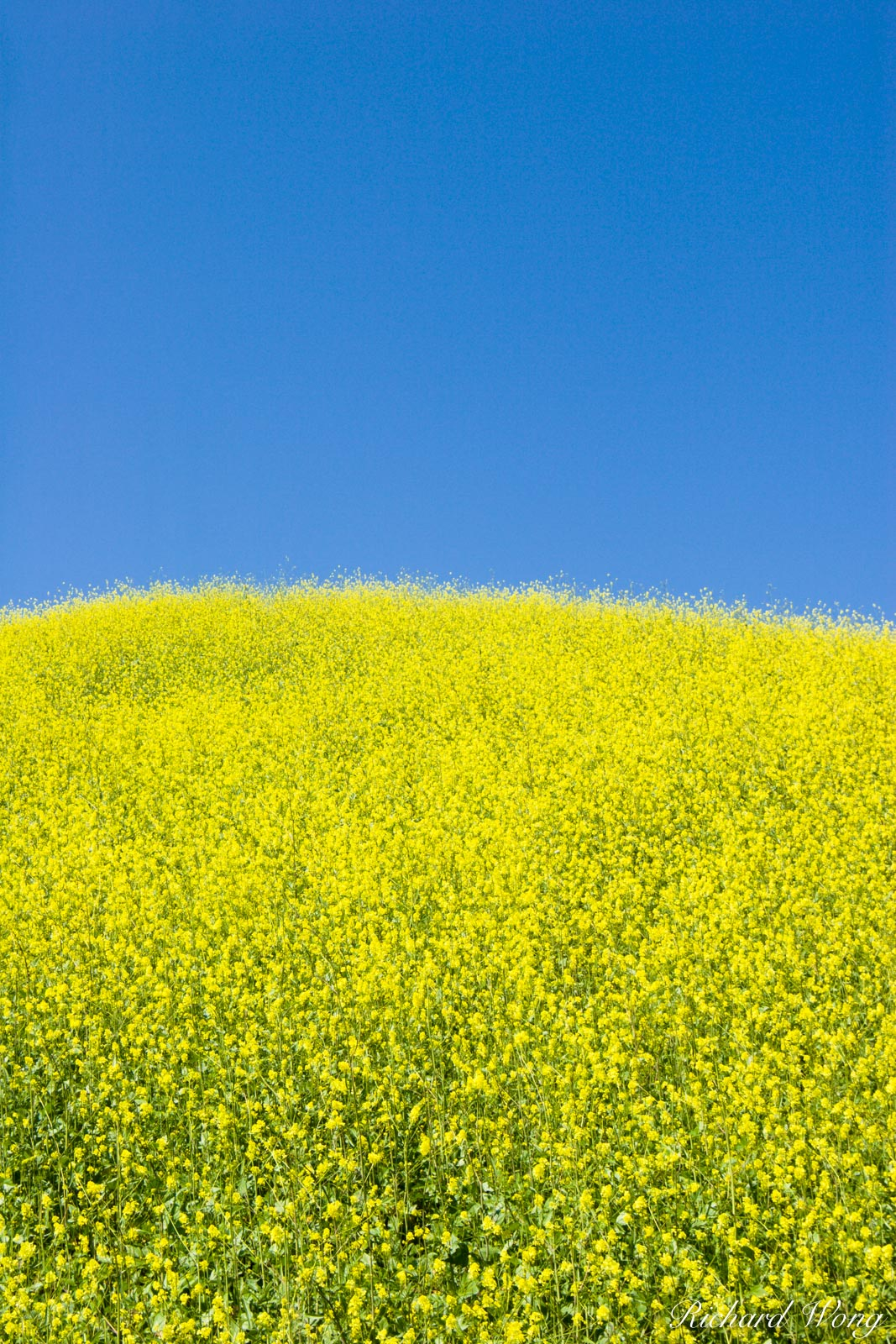 Chino Hills State Park Spring Mustard Flowers, Southern California, photo, photo