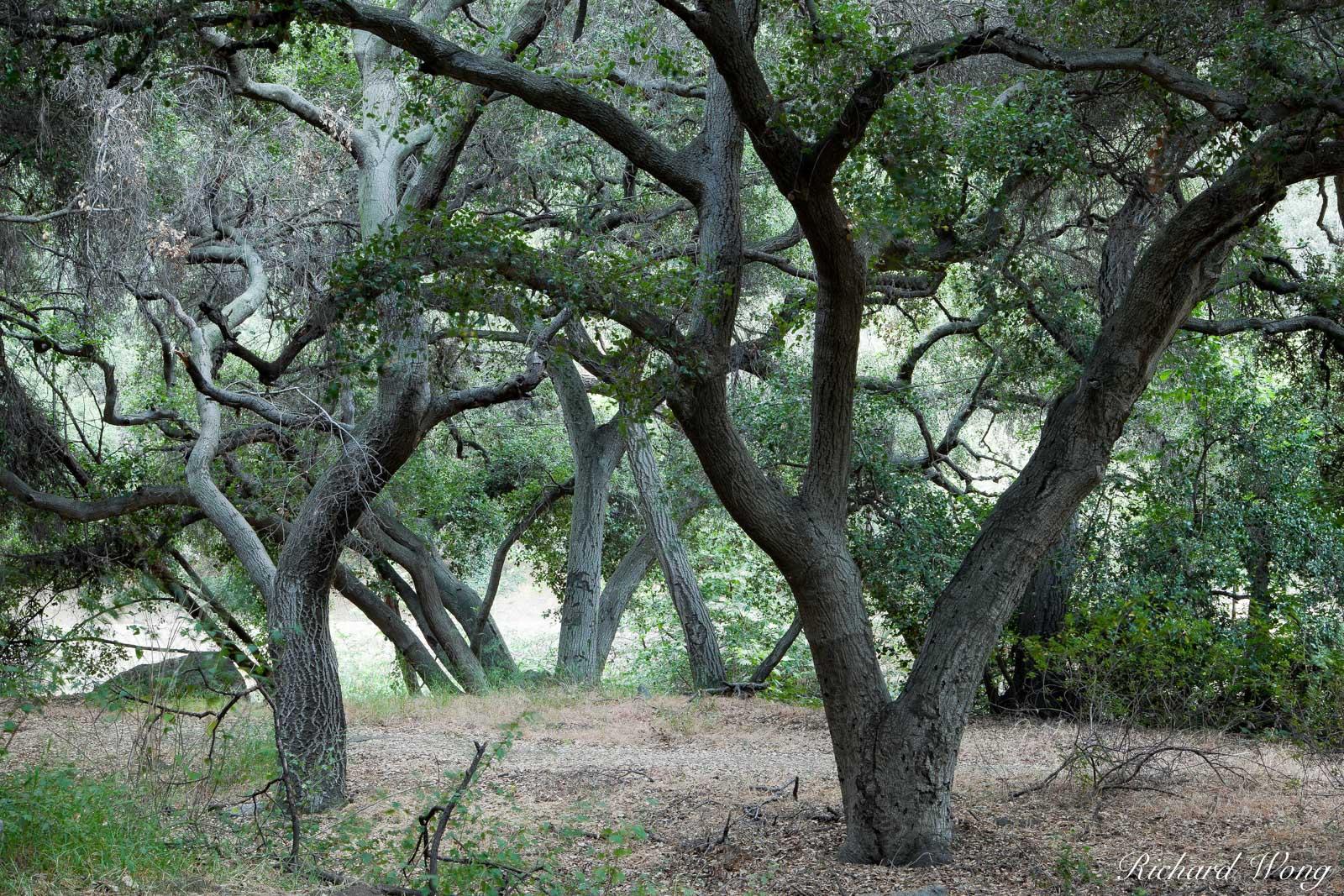 Oak Tree Forest, Big Dalton Canyon Wilderness Park, Glendora, California, photo, photo