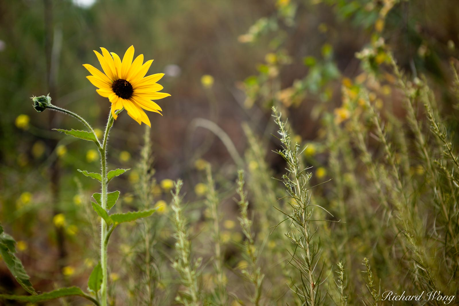 Wild Sunflowers at Big Dalton Canyon Wilderness Park, Glendora, California, photo, photo