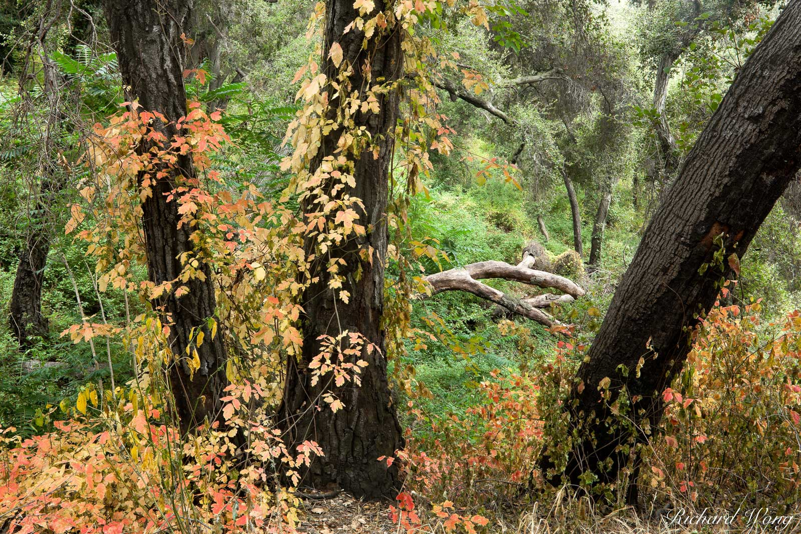 Poison Oak Foliage at Big Dalton Canyon Wilderness Park, Glendora, California, photo, photo