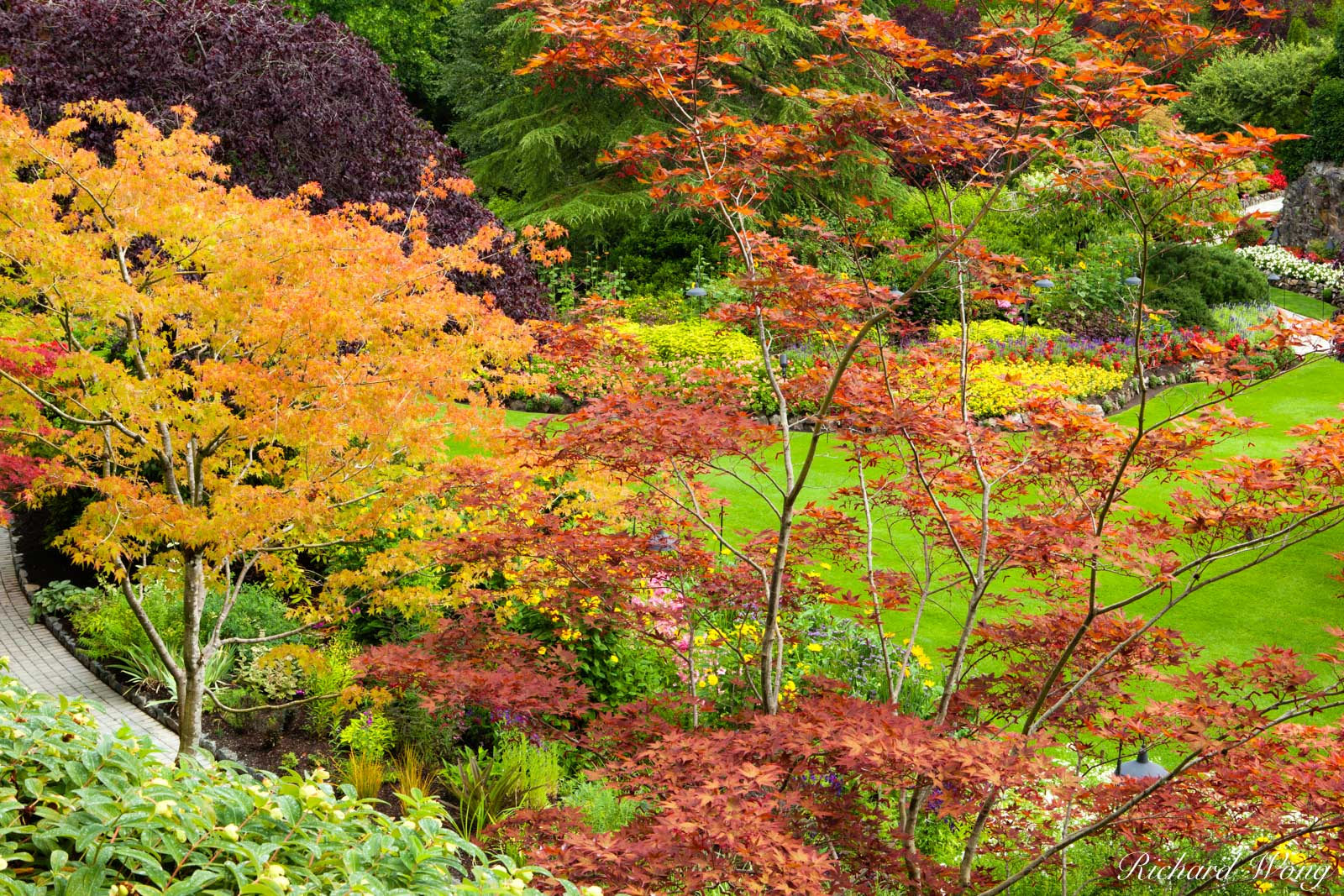 Japanese Maple Trees Fall Color - Sunken Garden, Butchart Gardens, Vancouver Island, B.C., photo, photo