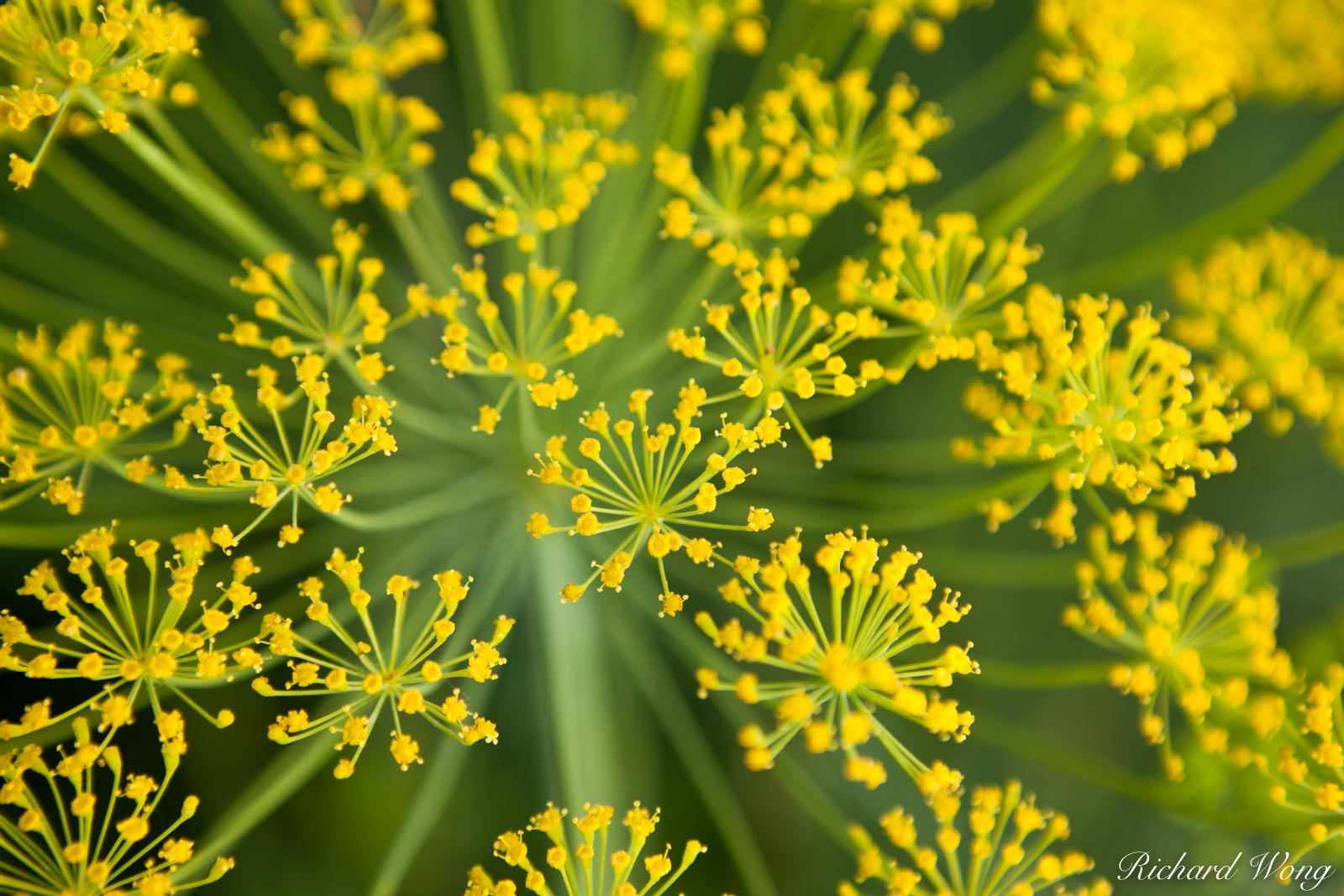 Bloom Dill, Coachella Valley, California, photo, photo