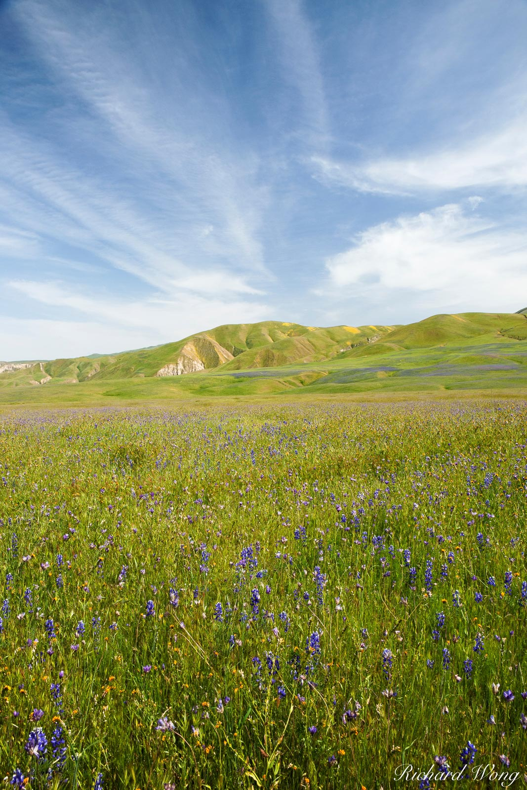Lupine and Blue Dicks Wildflowers, Wind Wolves Preserve, California, photo, photo