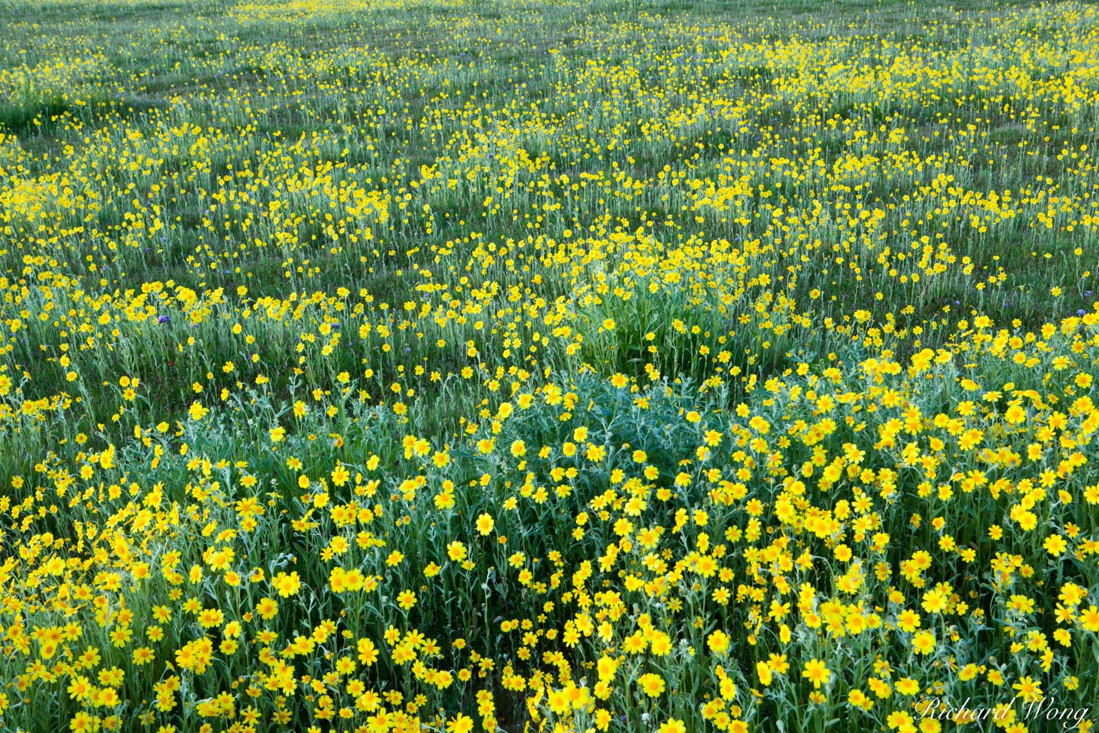 Goldfields, Carrizo Plain National Monument, California, photo, photo