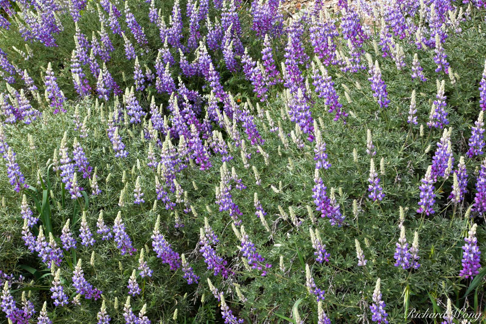 Bush Lupine, Figueroa Mountain Recreation Area, California, photo, photo