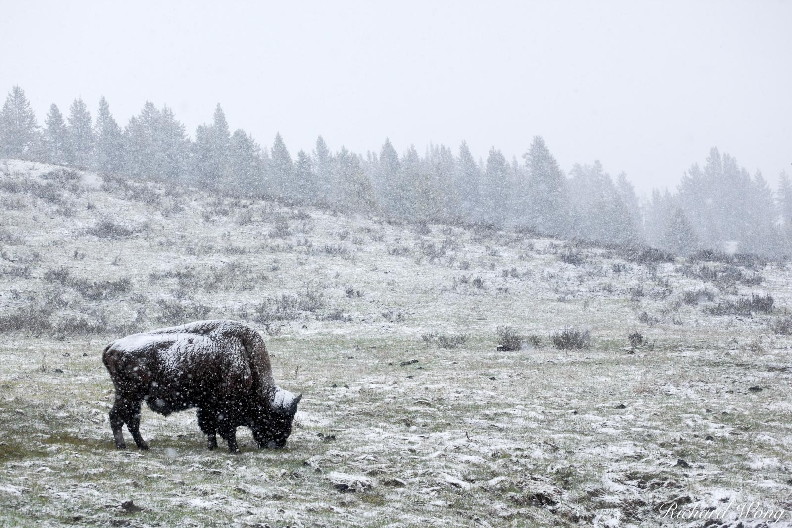 Bison Grazing in Spring Snow Storm Near Canyon Junction, Yellowstone National Park, Wyoming, photo, photo