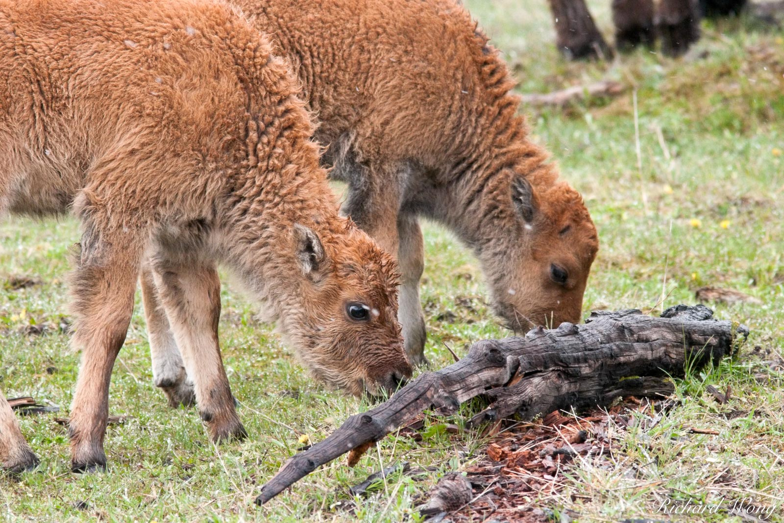 Pair of Baby Bison Calves Grazing, Yellowstone National Park, Wyoming, photo, photo