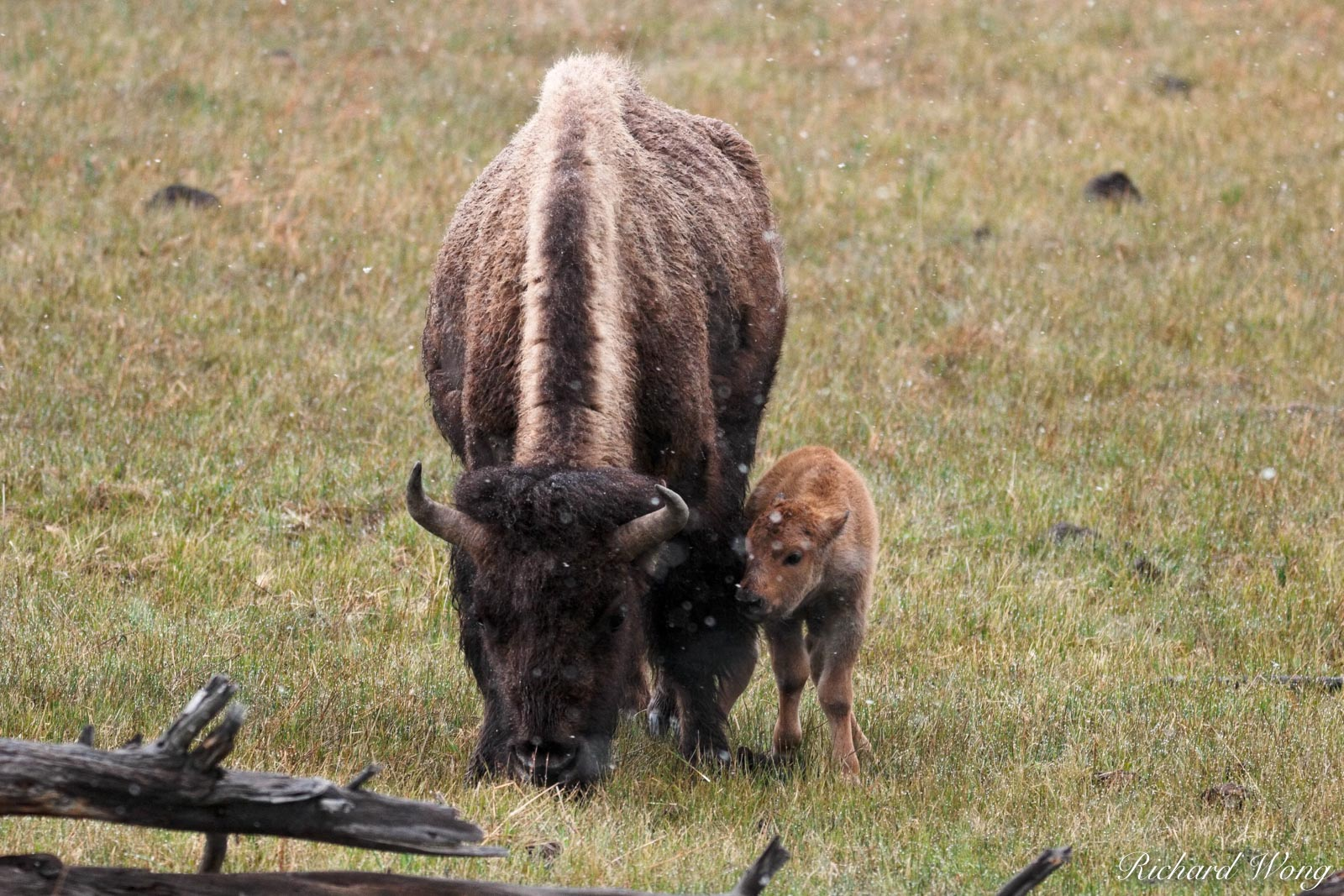 Baby Bison Calf Showing Affection to Mother, Yellowstone National Park, Wyoming As the snowy winter gives way to spring, there...