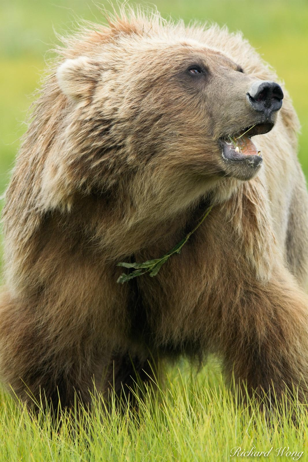 Grizzly Bear Feeding on Grass, Lake Clark National Park, Alaska, photo, photo
