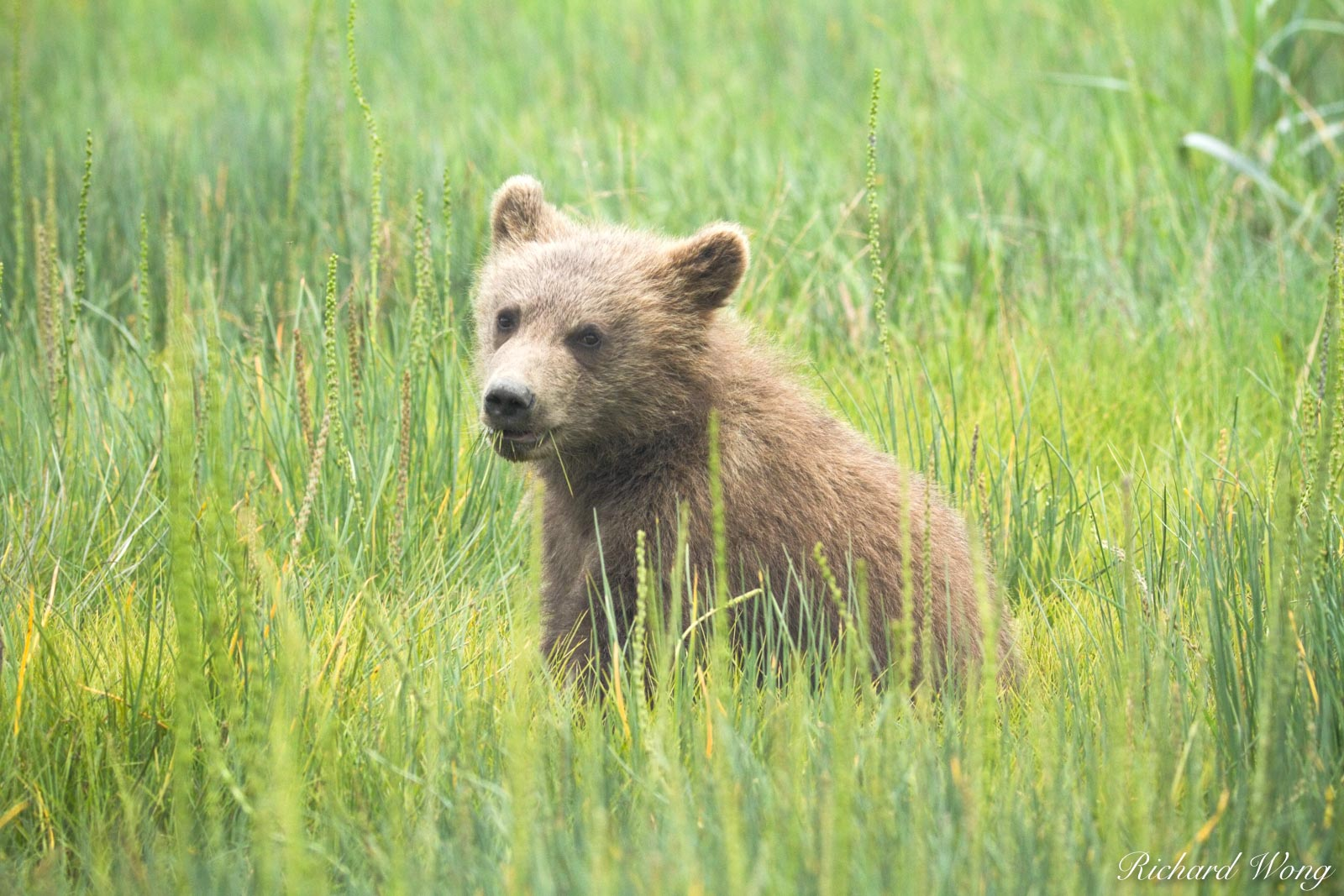 Grizzly Bear Cub Eating Grass in Meadow, Lake Clark National Park, Alaska, photo, photo