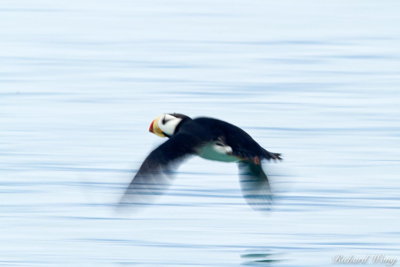 Horned Puffin Skimming Above Water, Alaska Maritime National Wildlife Refuge near Lake Clark National Park, Alaska, photo