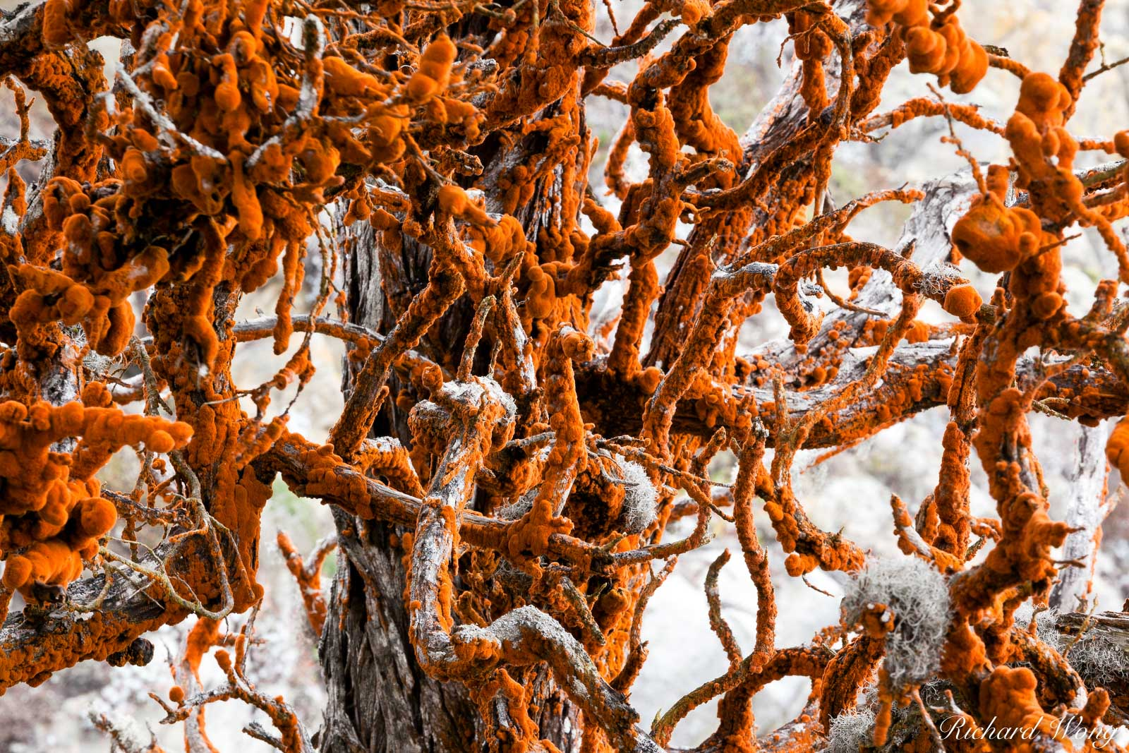 Red Lace Lichen on Monterey Cypress Tree at Allan Memorial Grove, Point Lobos State Reserve, California, photo, photo
