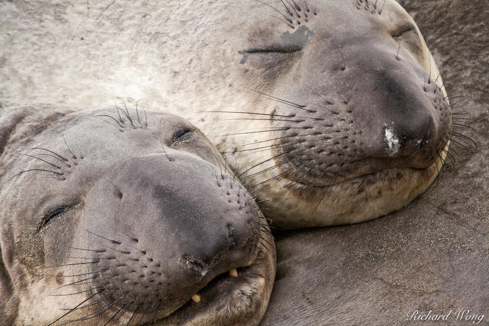 Elephant Seal Pups, Point Piedras Blancas, California, photo, photo