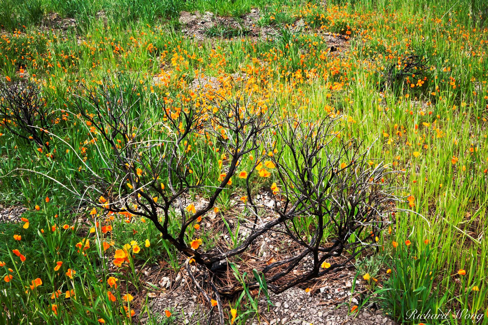 Golden Poppies Growing in Burn Area on Figueroa Mountain, Los Padres National Forest, California, photo, photo