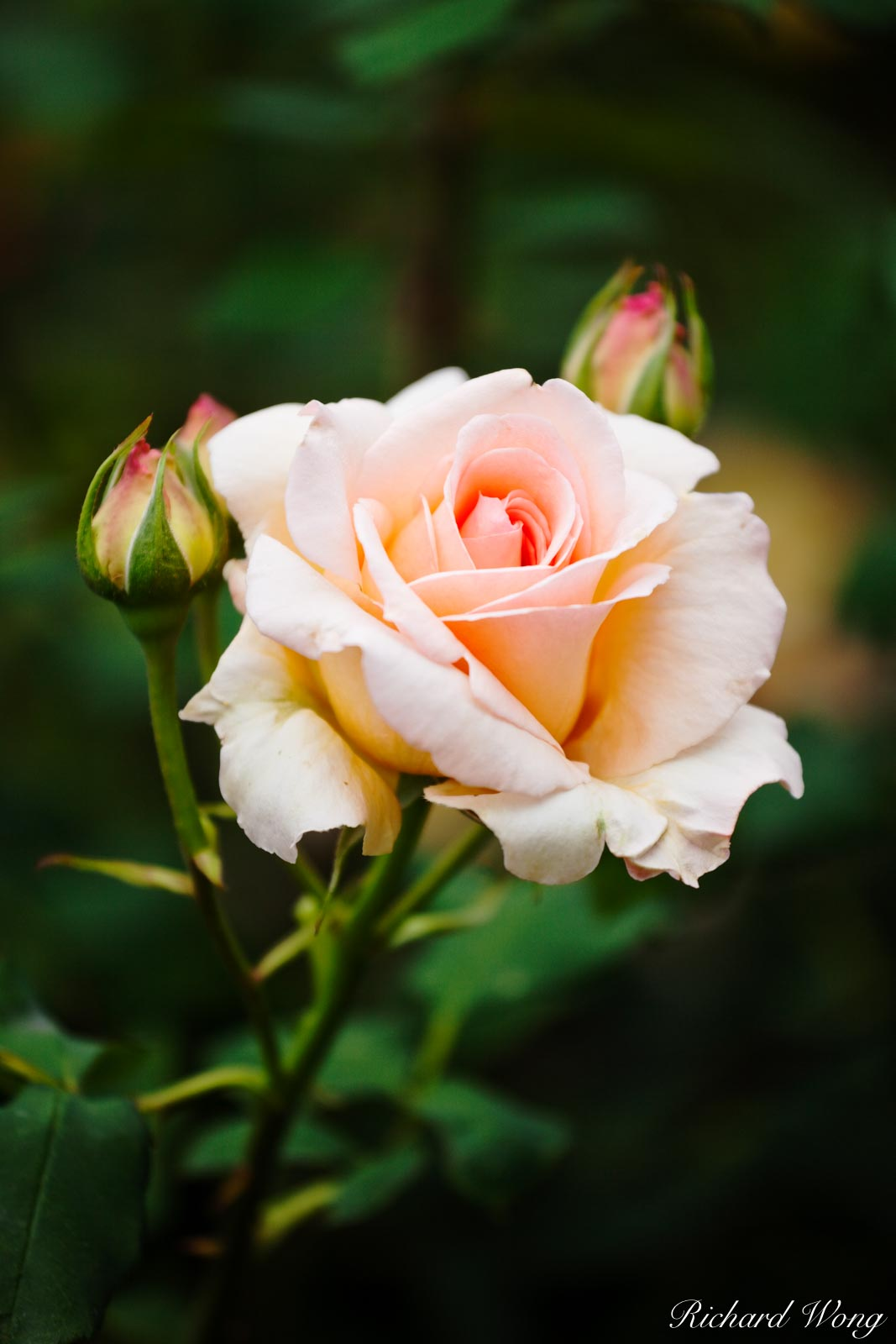 Apricot Nectar Rose (Foribunda) / Rose Garden at The Huntington Botanical Gardens, San Marino, California, photo, photo