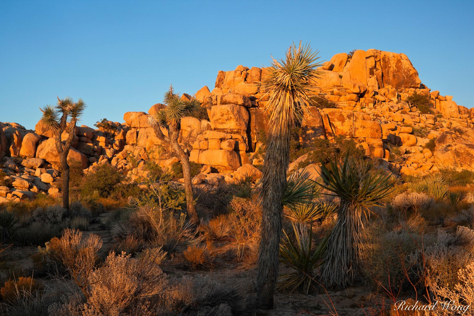 Joshua Trees at Sunset on Barker Dam Trail, Joshua Tree National Park, California, photo, photo
