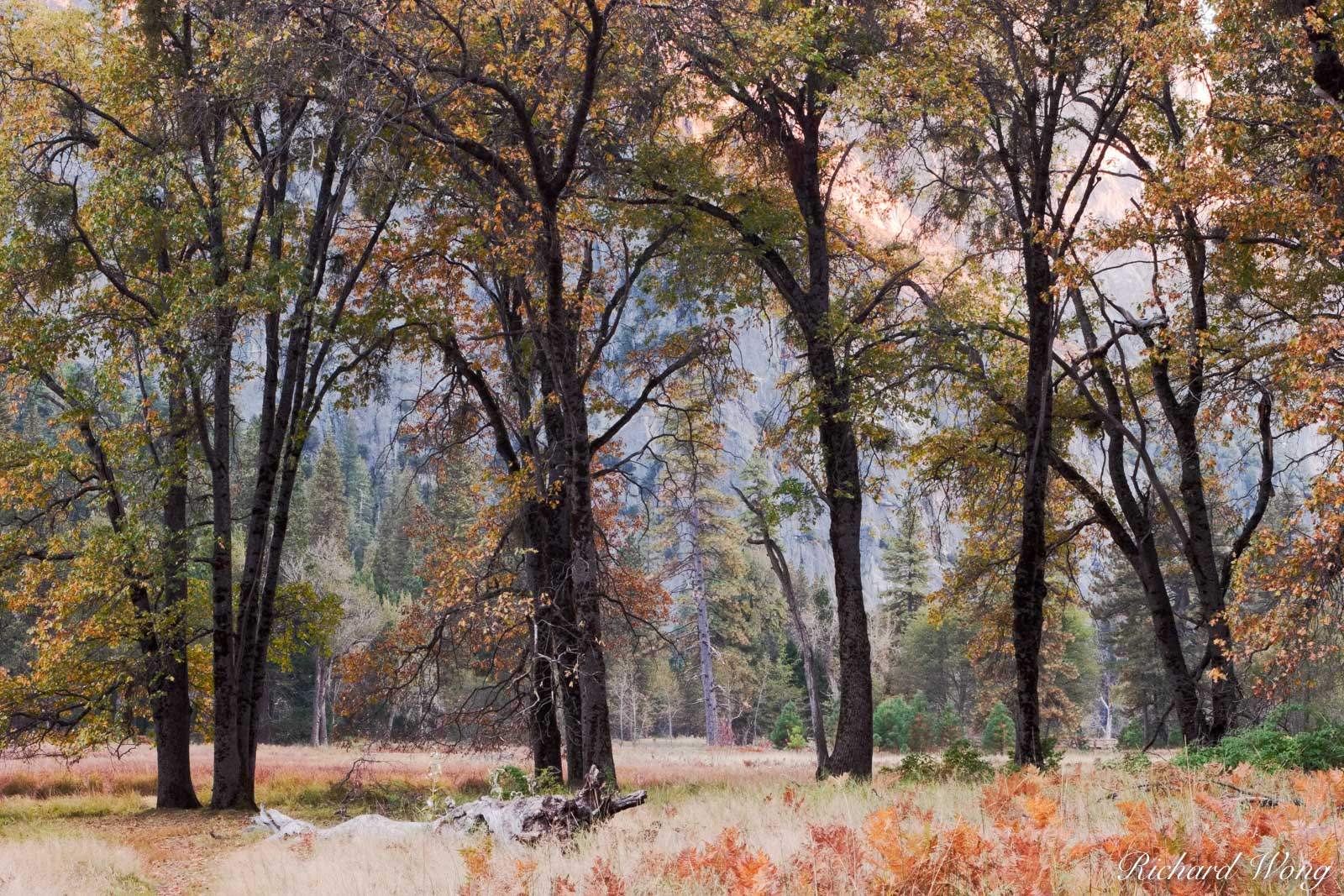 Cook's Meadow Oak Trees in Fall, Yosemite National Park, California, photo, photo