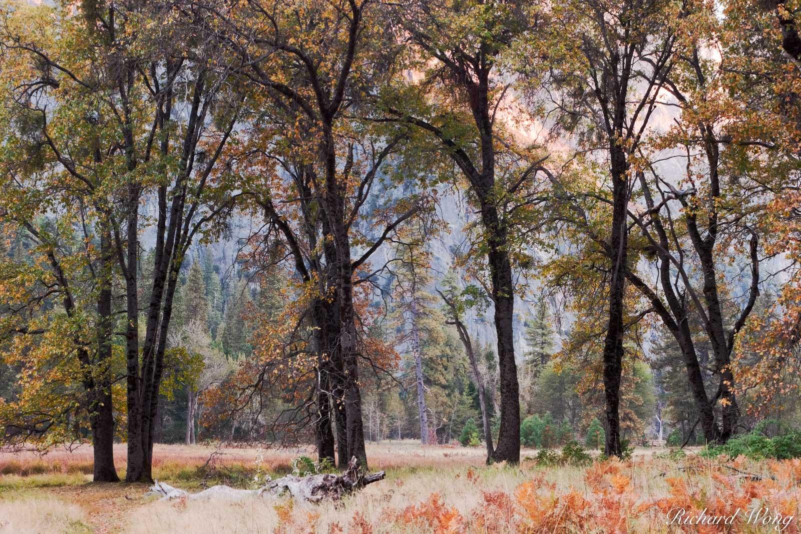 Cook's Meadow Oak Trees in Fall, Yosemite National Park, California