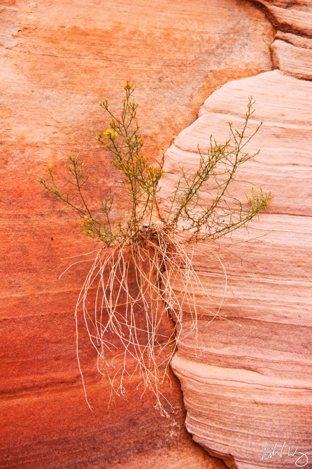 Flowering Plant Growing from Crack in Sandstone, Valley of Fire State Park, Nevada, Photo, photo