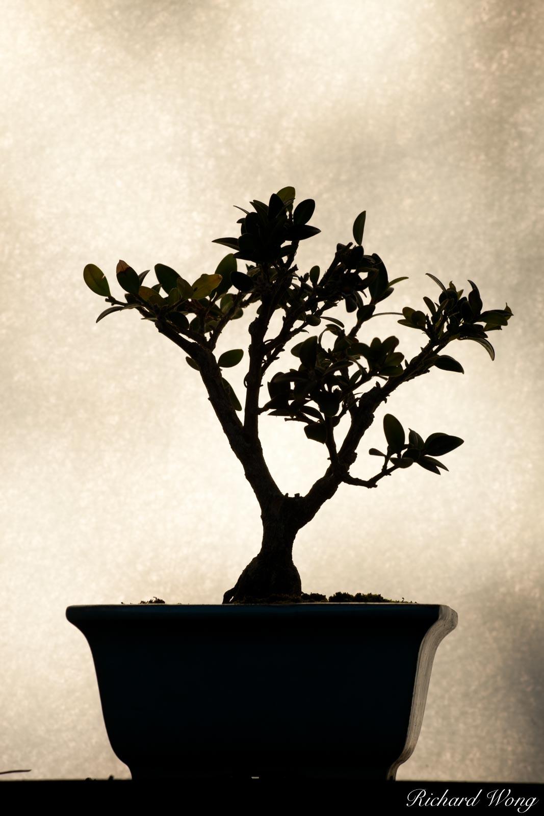 Bonsai Tree Silhouette at Japanese Garden / The Huntington Botanical Gardens, San Marino, California, photo, photo