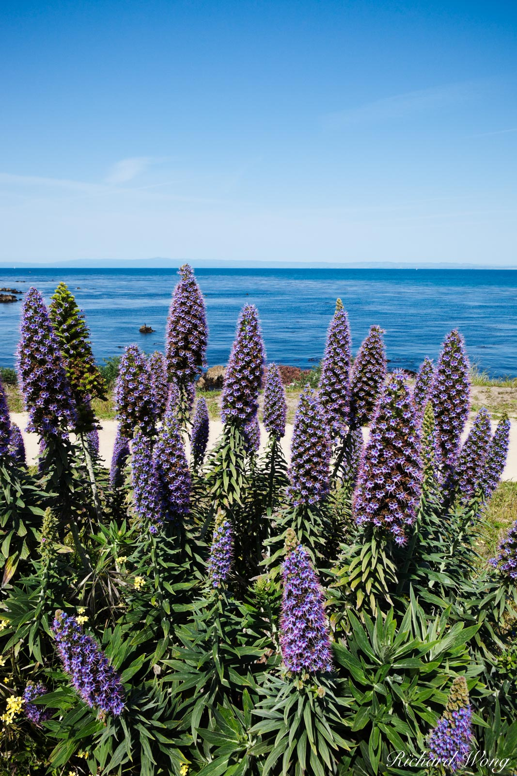 Pride of Madeira Flowers, Pacific Grove, California, photo, photo