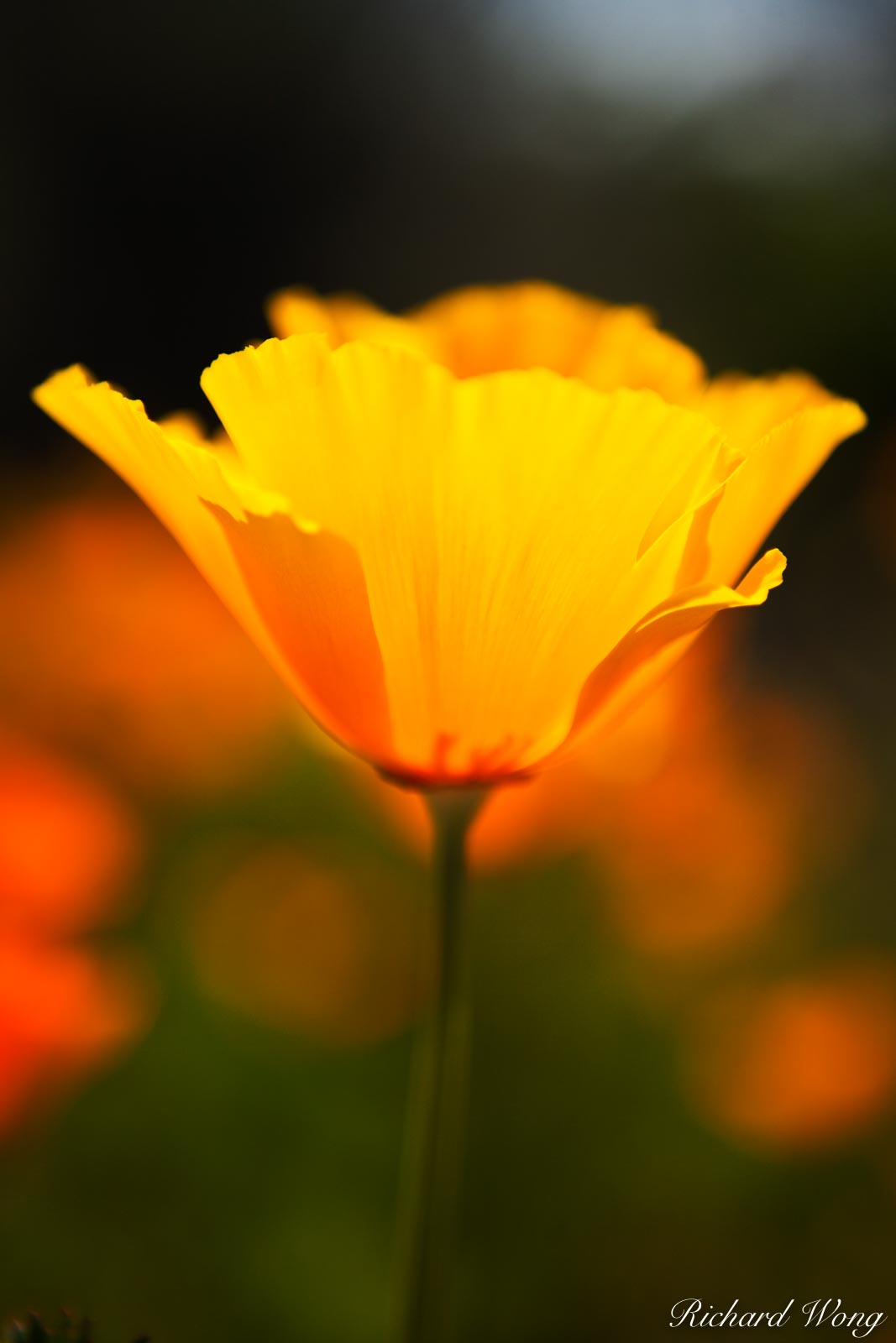 California, Central Coast, Golden Poppies, afternoon, bloom, blooming, blooms, blossoms, close up, color image, colour image, ecology, eschscholzia californica, flora, flower, flowering, flowers, macr, photo