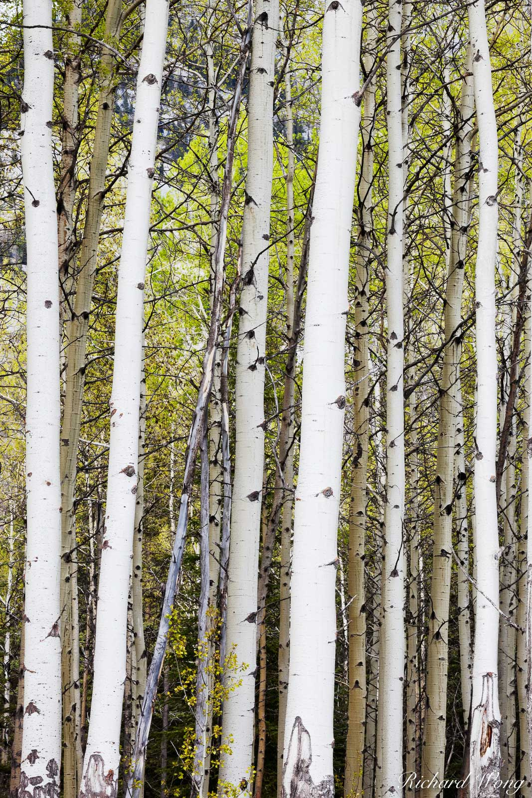 Aspen Trees Along Bow Valley Parkway, Banff National Park, Alberta, Canada, photo, photo