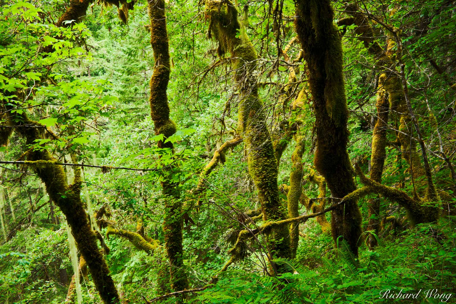 Temperate Rainforest / Eagle Creek, Columbia River Gorge National Scenic Area, Oregon, photo, photo