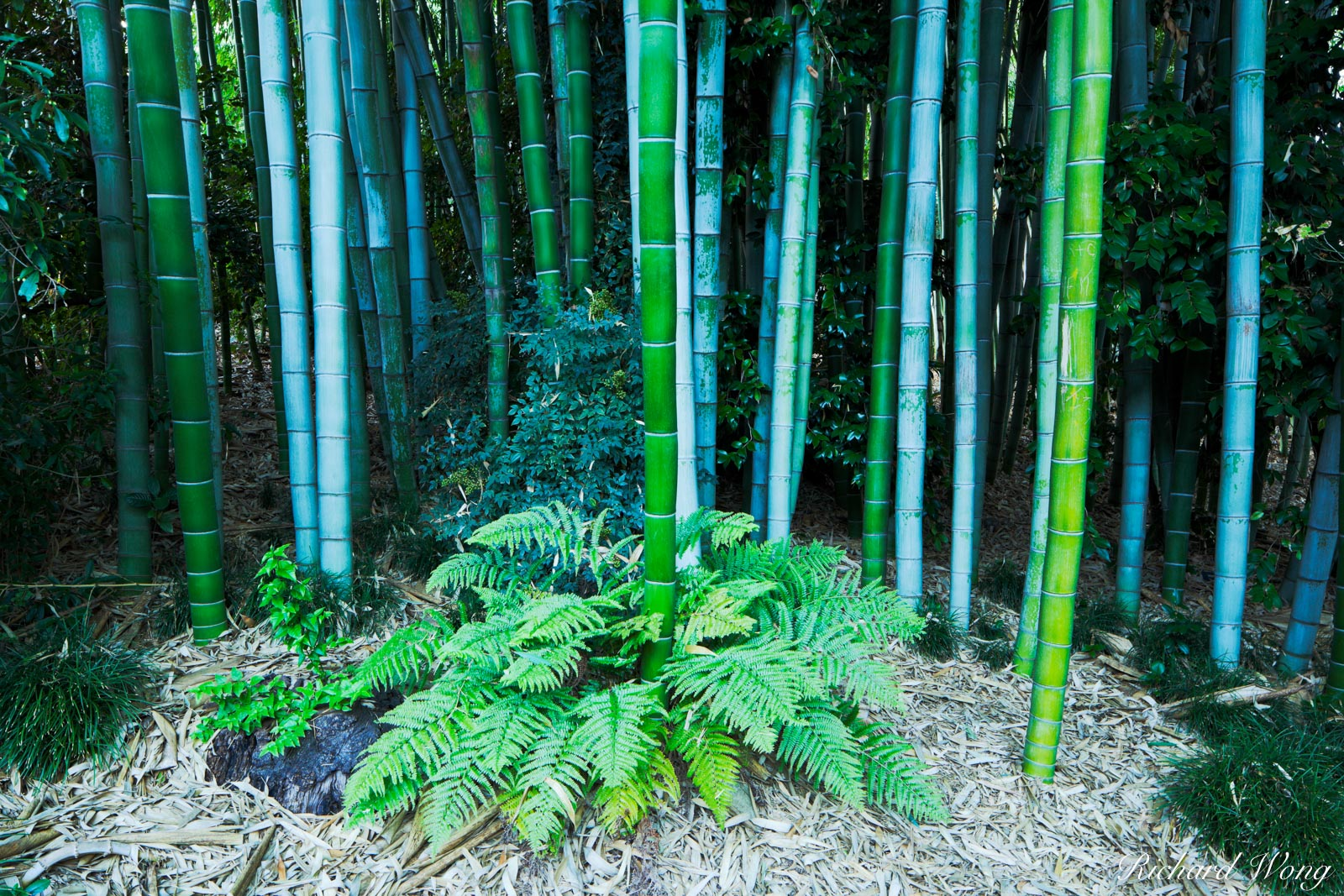 Bamboo in Japanese Garden at The Huntington, San Marino, California, photo, photo