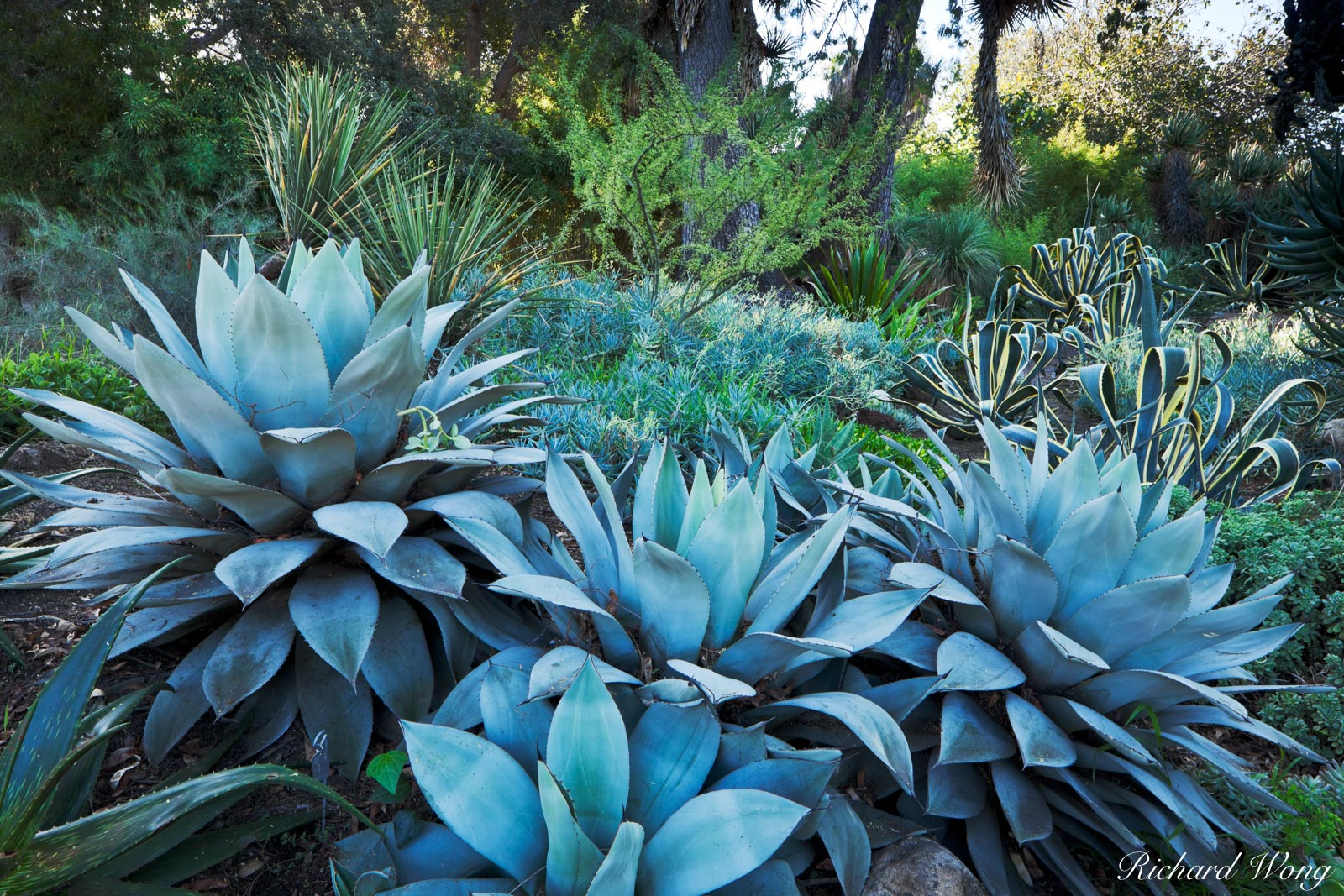 Agave Plants in Desert Garden at The Huntington, San Marino, California, photo, photo