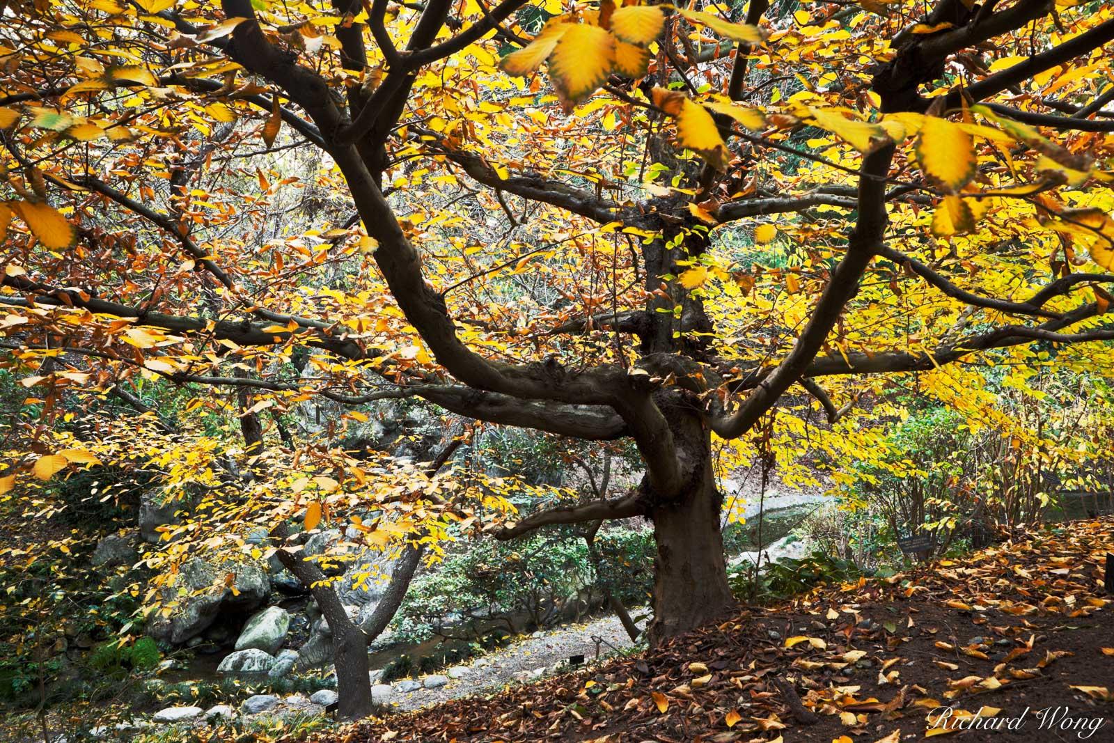 european hornbeam, fall foliage, japanese garden, the huntington, california, photo, photo