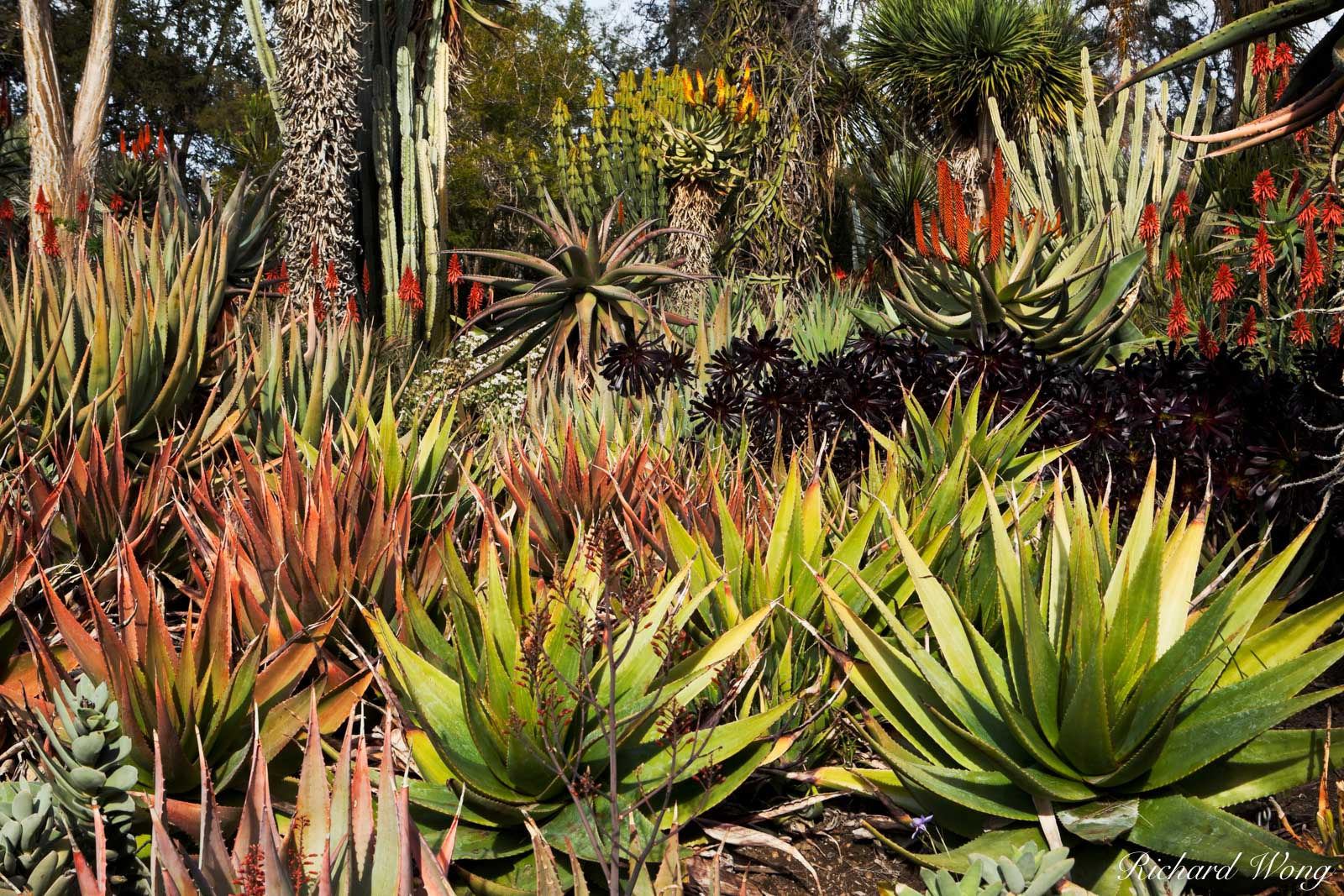 Aloe Vera Flowers Blooming in Desert Garden at The Huntington Botanical Gardens, San Marino, California, photo, photo