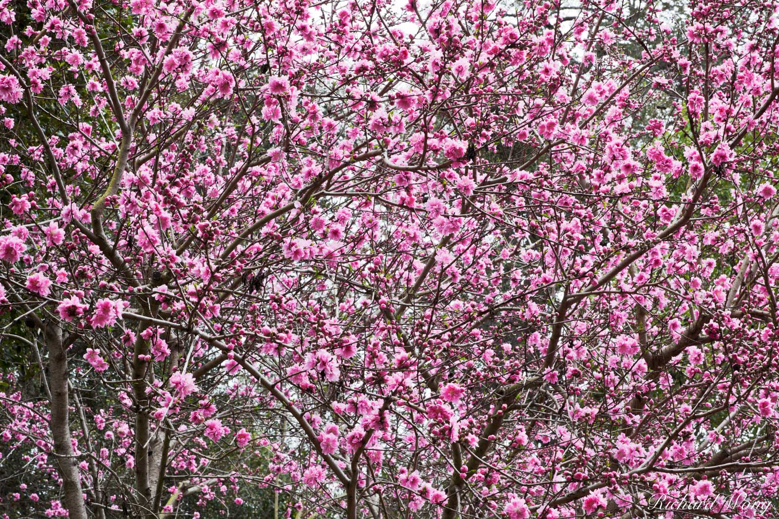Los Angeles County, San Gabriel Valley, bloom, blossoms, cherry tree blossom, flowering, huntington botanical gardens, japanese garden, nature, outdoor, outside, pink flowers, season, seasonal, southe, photo