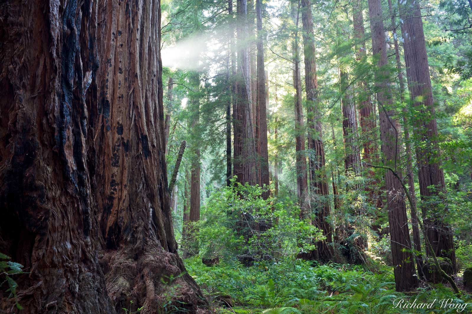 Sunbeam in Old-Growth Redwood Forest, Muir Woods National Monument, California, photo, photo