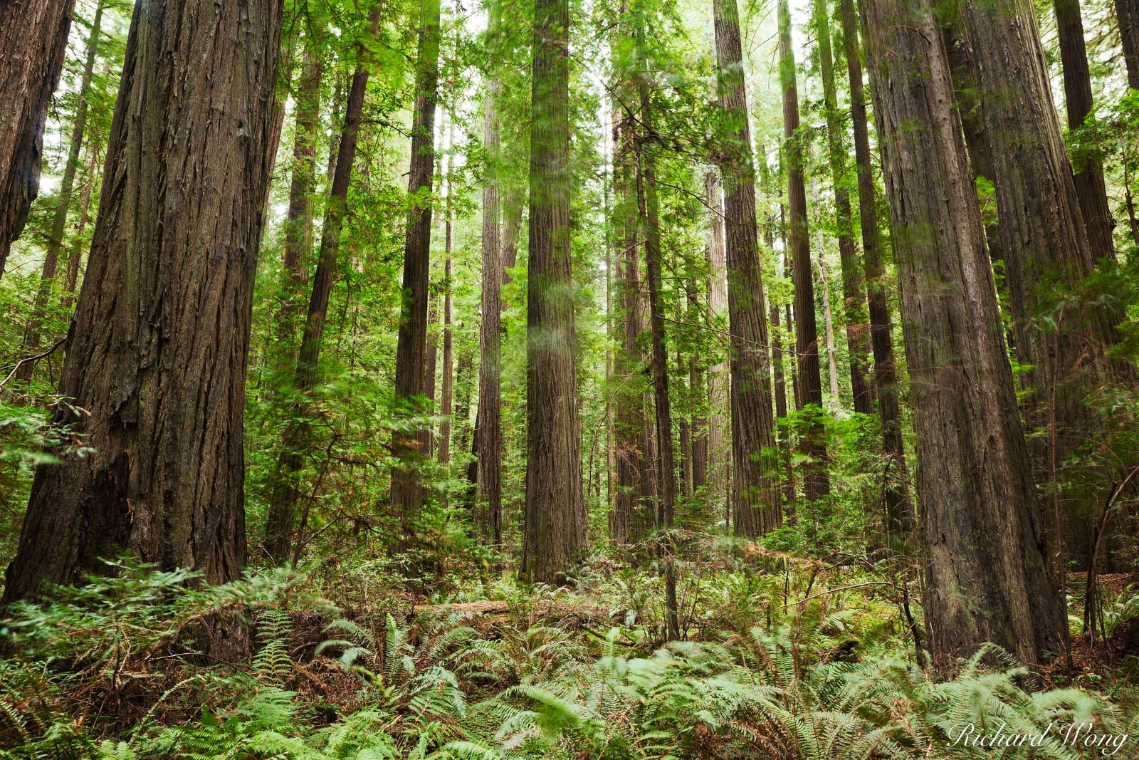 Founder's Grove Old-Growth Redwood Forest, Humboldt Redwoods State Park, California, photo