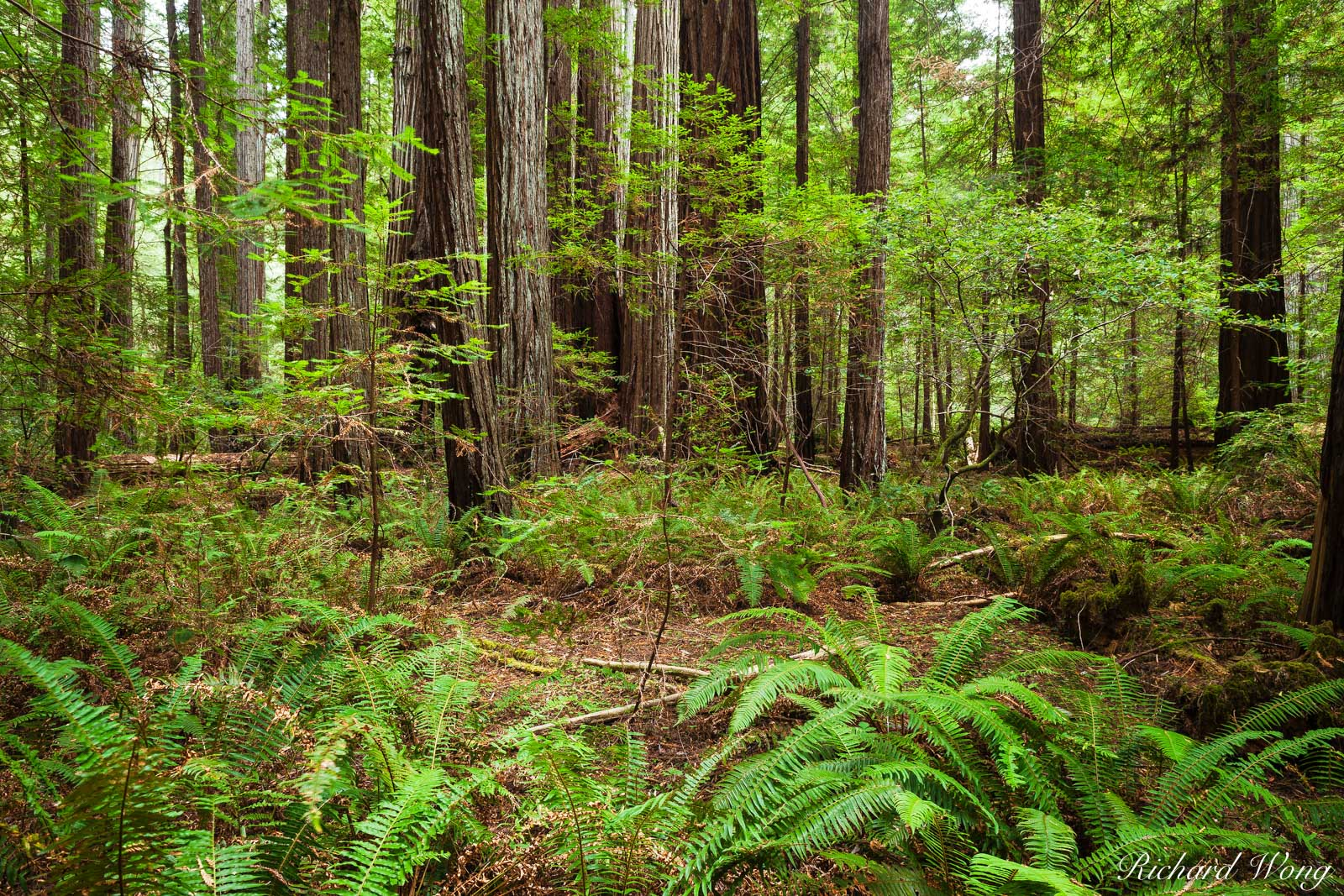Rockefeller Forest, Humboldt Redwoods State Park, California, photo, photo