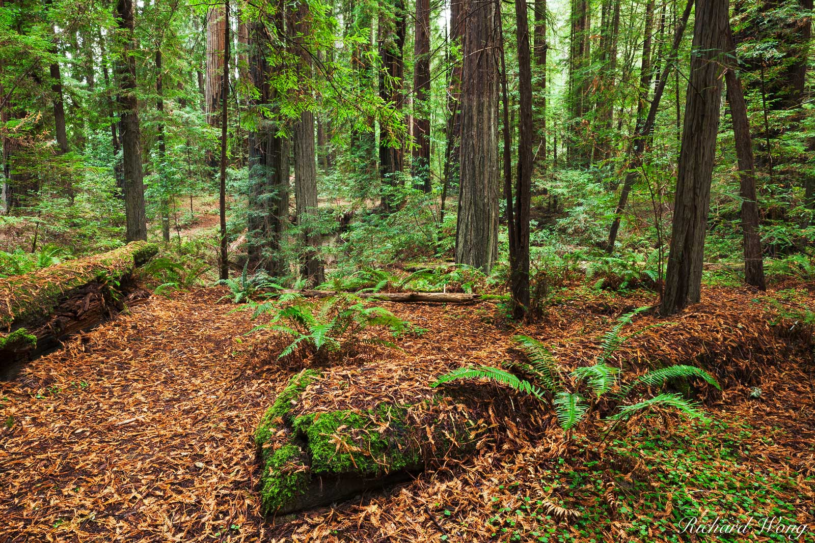 Humboldt Redwoods State Park Near Avenue of the Giants, California, photo, photo