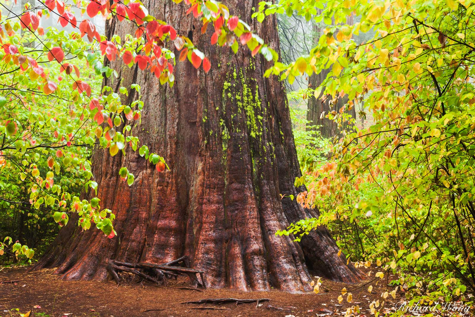 calaveras big trees state park, giant sequoia trees, fall foliage, dogwood, california, photo, photo