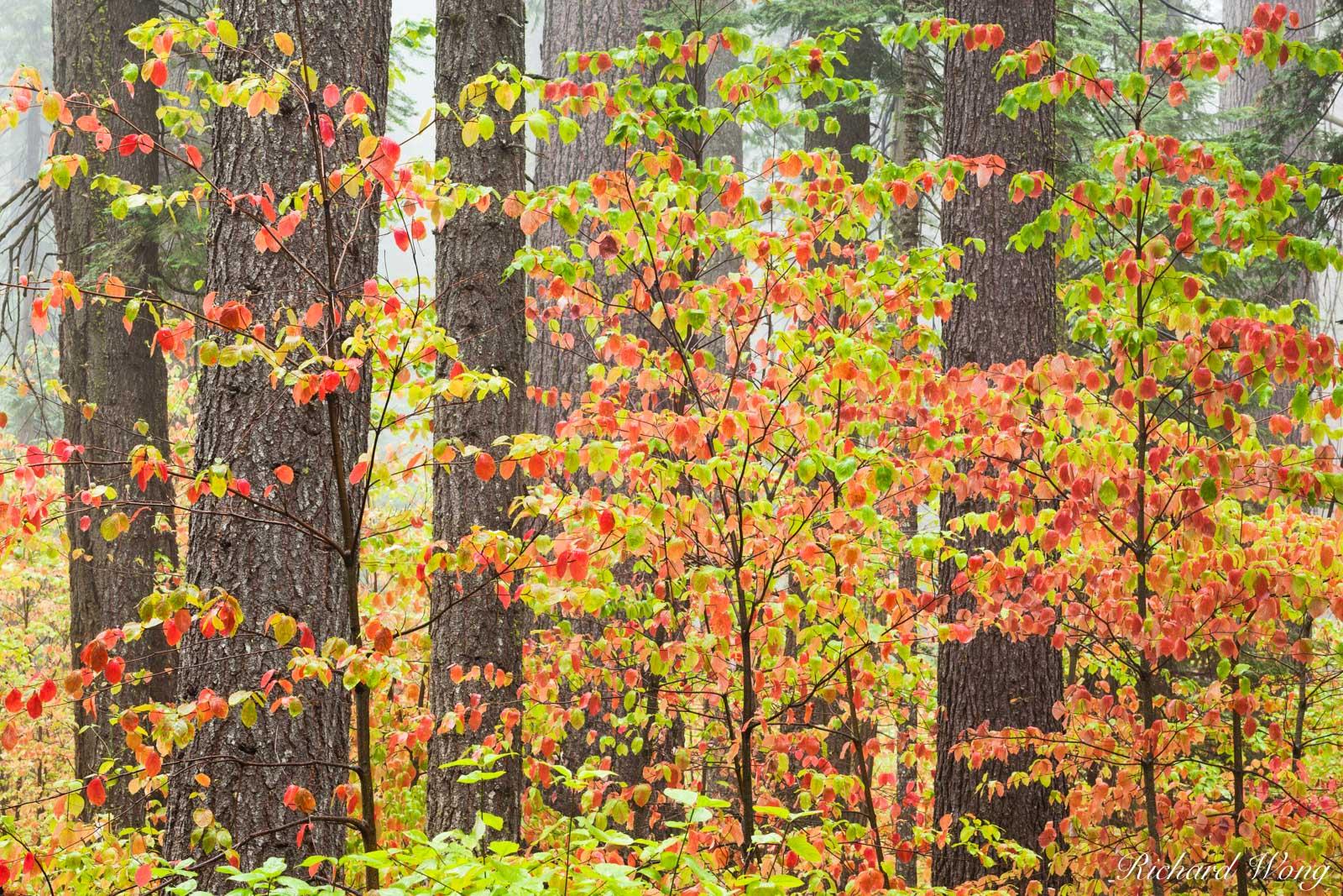 Dogwood Fall Color, Calaveras Big Trees State Park, California, photo, photo