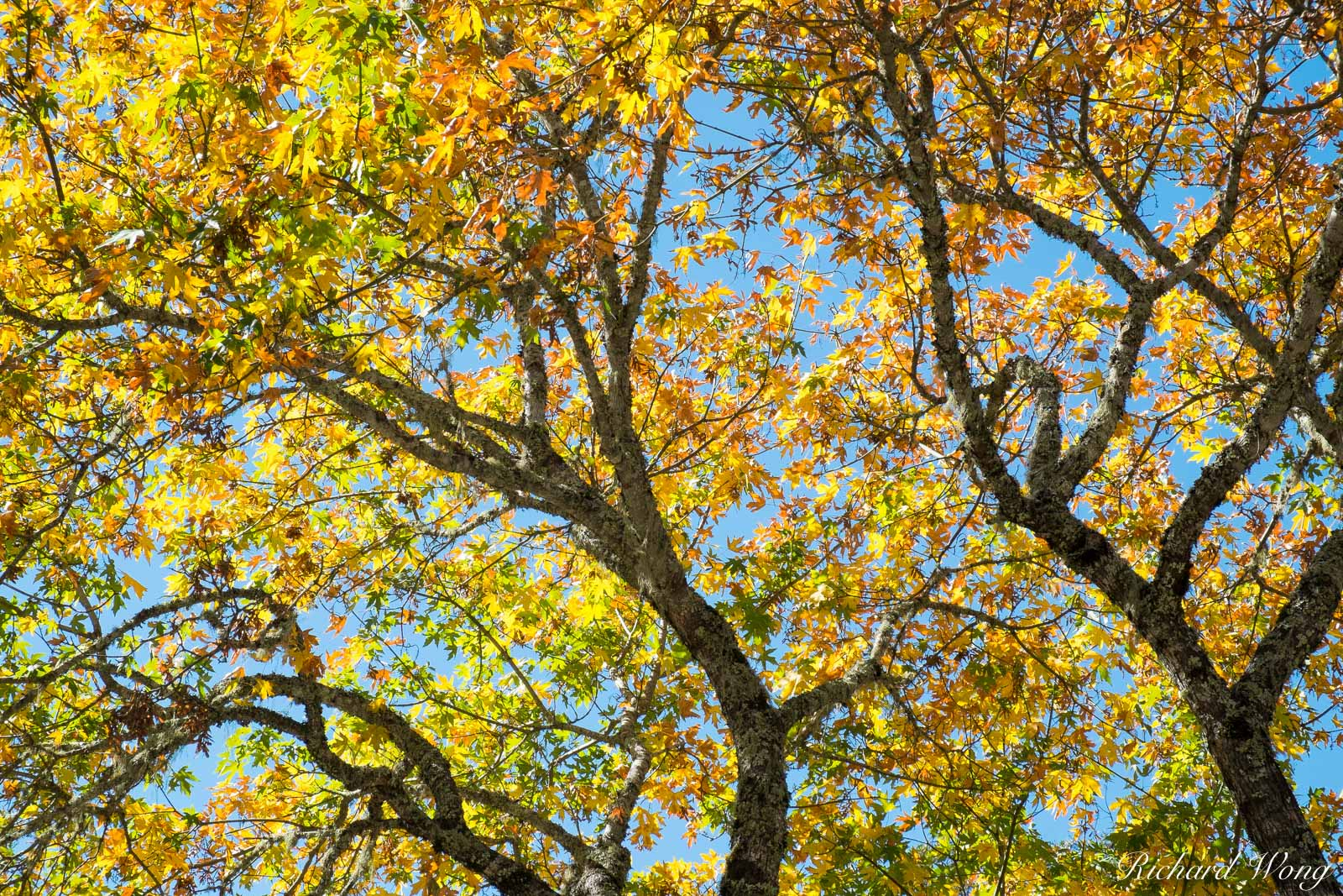 Tree With Fall Foliage, Calistoga, California, photo, photo