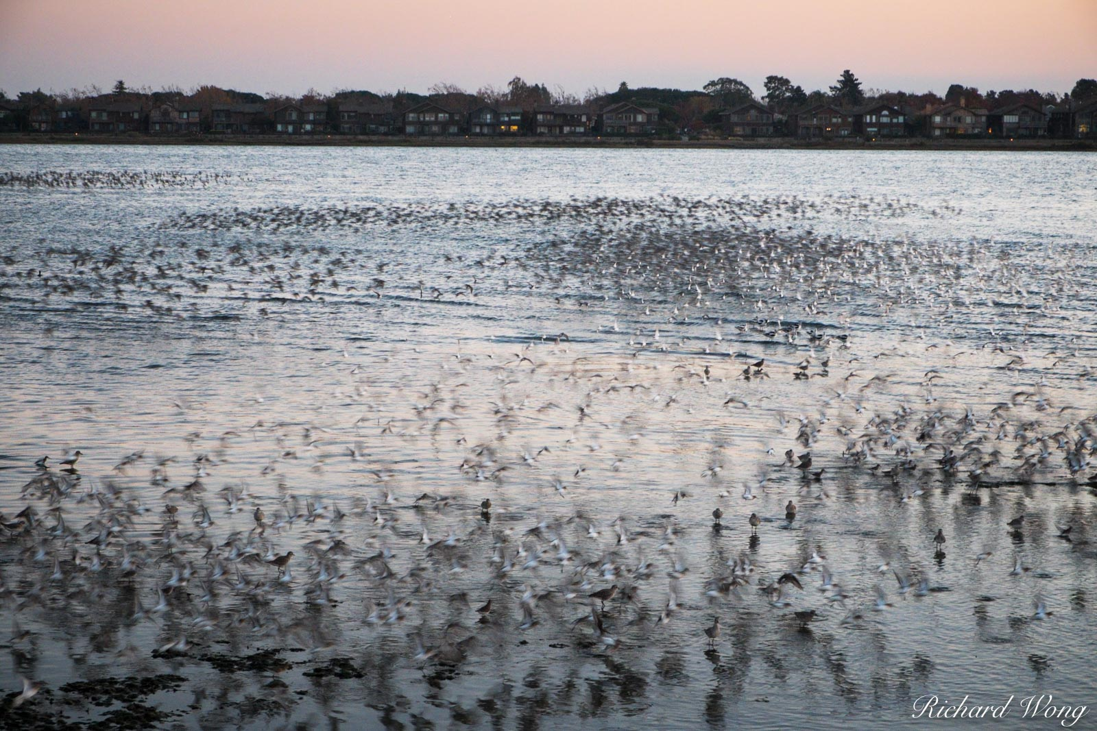 Thousands of Shorebirds Flying at Elsie Roemer Bird Sanctuary, Alameda, California, photo, photo