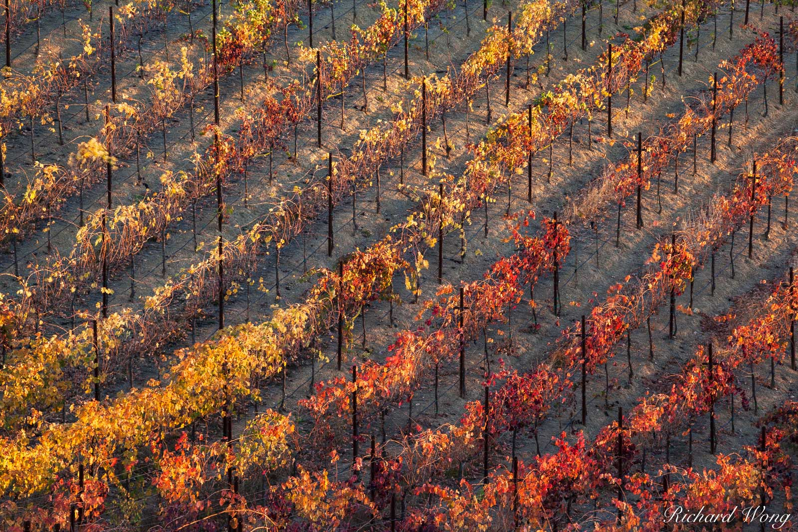 Spectrum of Fall Colors in Vineyard at Dry Creek Valley, Geyserville, California, photo, photo