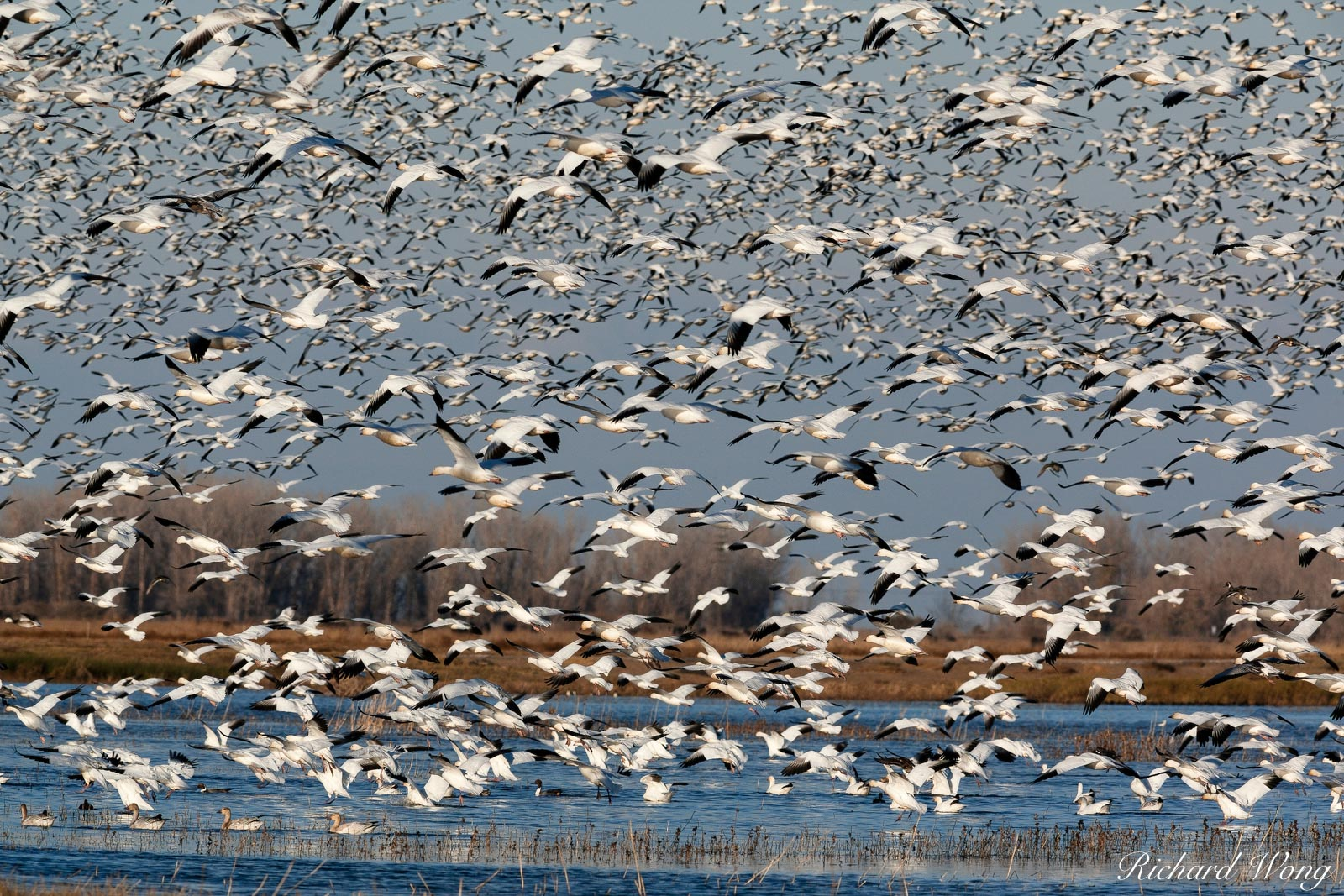 Geese in Flight, Merced National Wildlife Refuge, California, photo, photo