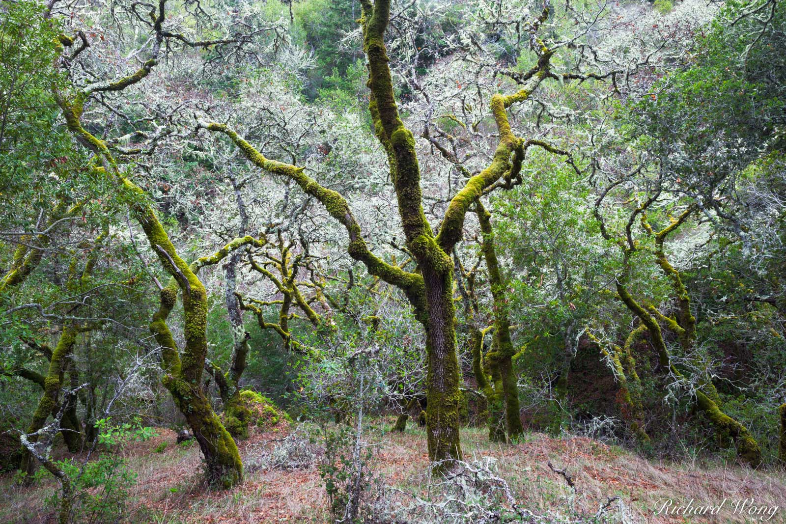 Mossy Trees, Cascade Canyon Open Space Preserve, California, photo, photo