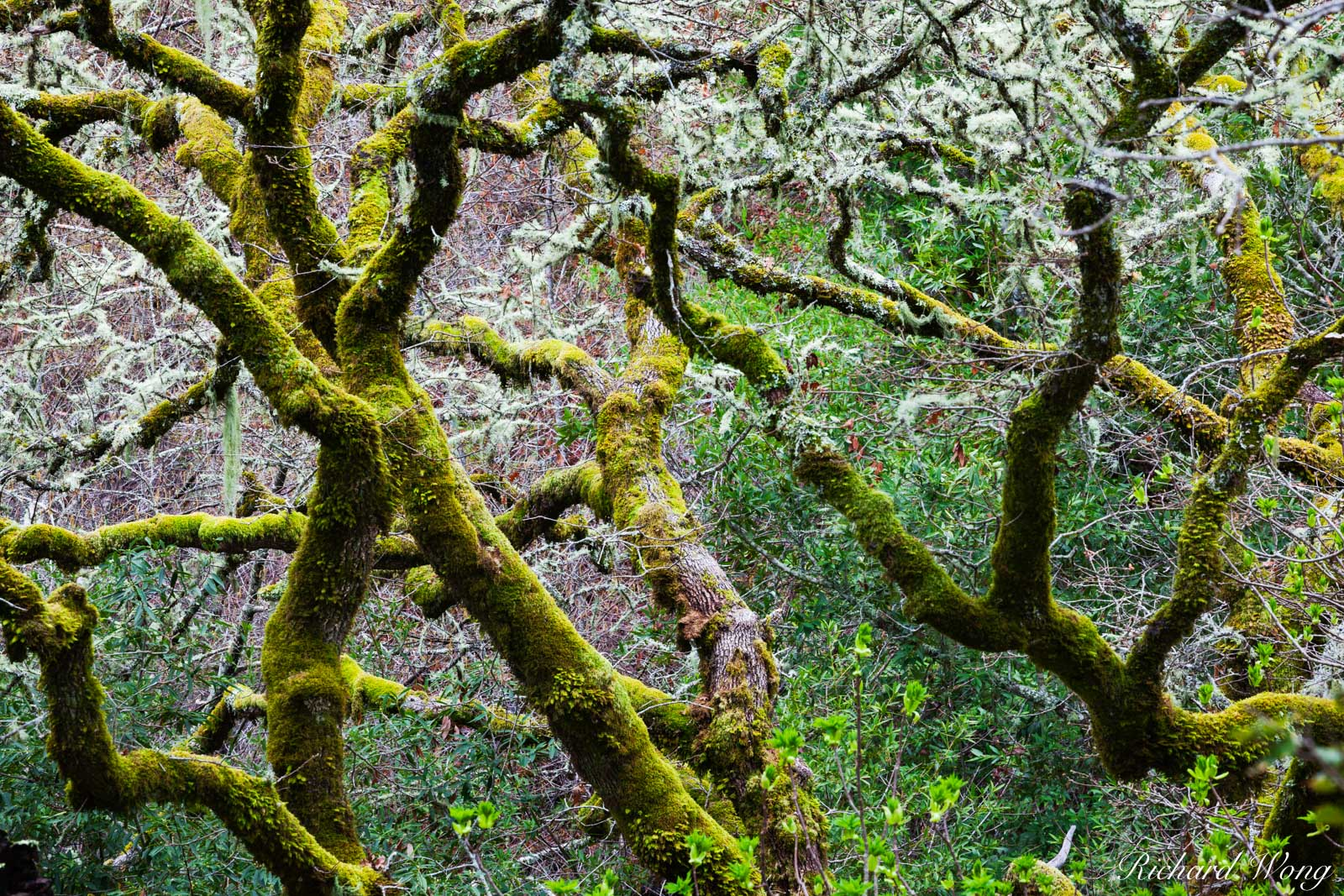 Mossy Trees and Lichen in Forest, Cascade Canyon Open Space Preserve, California, photo, photo