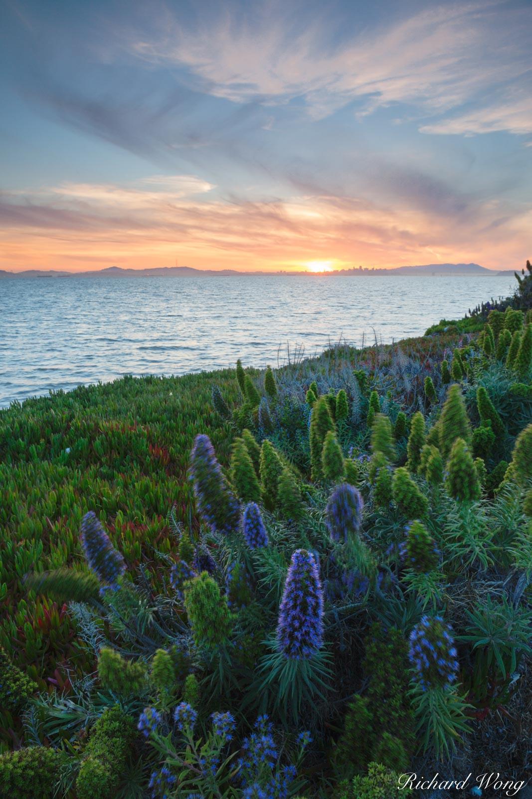 alameda, flowers, harbor bay, landscape, nature, northern california, outdoors, outside, plants, purple bush lupine, san francisco east bay, san francisco skyline, scenic, shoreline, sunset, united st, photo