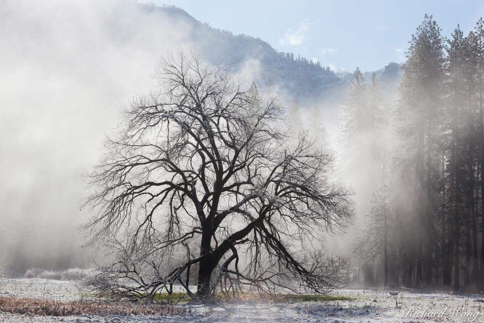 Elm Tree After Spring Snowstorm, Yosemite National Park, California, photo, photo
