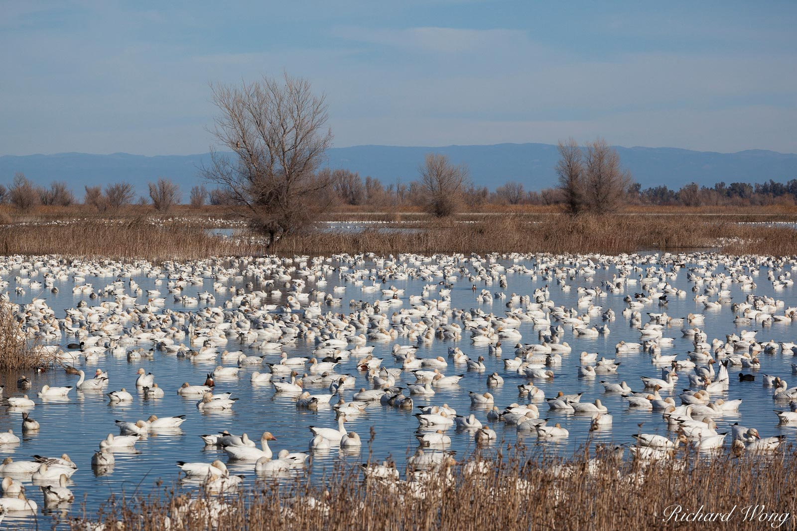 Wintering Pacific Flyway Waterfowl, Sacramento National Wildlife Refuge, California, photo, photo